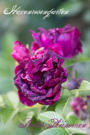 Rosen Hexenrosengarten Rugosa Baum violett lila blau Rotes Phänomen