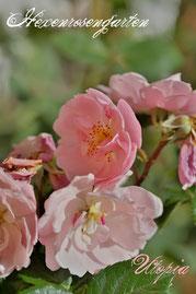 Rosen Hexenrosengarten Bodendeckerrose Delbard rosa Utopia