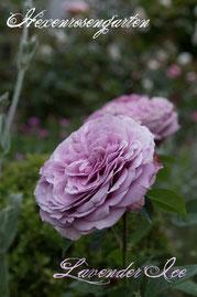 Rosen Hexenrosengarten Zwergrose Tantau rosa  Lila mauve blau Lavender Ice