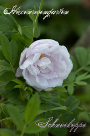 Rosen Hexenrosengarten Rugosa Baum mauve weiß lila rosa Duftrose Schneekoppe