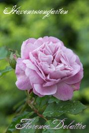 Rosen Hexenrosengarten Strauchrose Massad Guillot mauve lila blau Florence Delattre