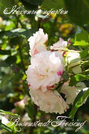 Rosen Hexenrosengarten Strauchrose Kordes weiß rot rosa mehrfarbig Rosenstadt Freising