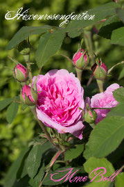 Rosen Hexenrosengarten Portland Boll Boyau pink Duftrose Mme Boll