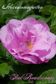 Rosen Hexenrosengarten Rugosa Kordes Uhl rosa pink Duftrose Pink Roadrunner