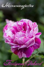 Rosen Hexenrosengarten Strauchrose Tanne pink weiß gestreift mehrfarbig Ferdinand Pichard