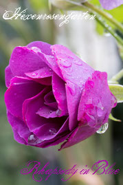 Rosen Hexenrosengarten Beetrose Strauchrose Colishaw Warner lila blau Rhapsody in Blue
