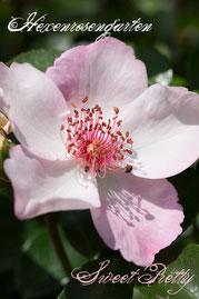 Rosen Hexenrosengarten Polyantha Meilland rosa Sweet Pretty