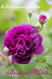 Rosen Hexenrosengarten Strauchrose Mille-Mallet violett lila blau Reine des Violettes