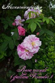 Rosen Hexenrosengarten Gallica Mutation Rosa Gallica Officinalis weiß rosa gestreift mehrfarbig Rosa mundi Rosa Gallica versicolor