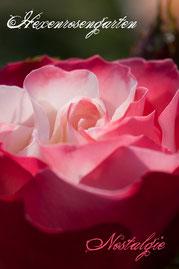 Rosen Hexenrosengarten Edelrose Tantau weiß rot mehrfarbig Nostalgie