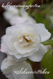 Rosen Hexenrosengarten Strauchrose Kordes Hochstamm weiß Schneewittchen