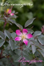 Rosen Hexenrosengarten Strauchrose Wildrose Südeuropa pink weiß blau Rosa glauca