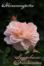 Rosen Hexenrosengarten Beetrose Kordes abricot Sangerhäuser Jubiläumsrose