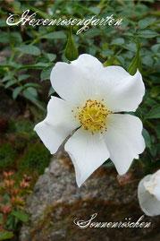 Rosen Hexenrosengarten Zwergrose Kordes weiß Sonnenröschen