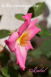Hexenrosengarten Rosen Historische Teehybride Mc Gredy rosa Isobel