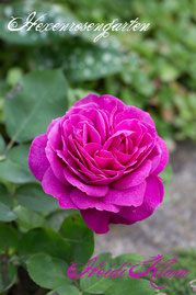 Rosen Hexenrosengarten Beetrose Tantau pink Duftrose Heidi Klum