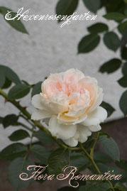 Rosen Hexenrosengarten Strauchrose Meilland weiß Flora Romantica