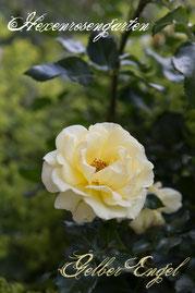 Rosen Hexenrosengarten Beetrose Kordes gelb Gelber Engel
