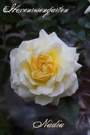 Rosen Hexenrosengarten Bodendeckerrose Meilland weiß gelb creme Nadia Meillandecor
