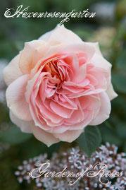 Rosen Hexenrosengarten Beetrose Kordes rosa abricot Garden of Roses