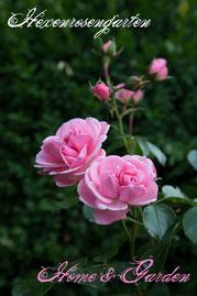 Rosen Hexenrosengarten Beetrose Kordes rosa Home & Garden