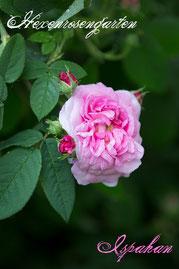 Rosen Hexenrosengarten Damaszener Persien rosa Duftrose Ispahan
