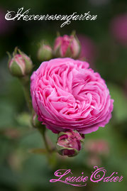 Rosen Hexenrosengarten Bourbonrose Margottin pink Duftrose Louise Odier