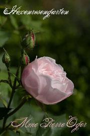 Rosen Hexenrosengarten Bourbon Verdier rosa creme Duftrose Mme Pierre Oger