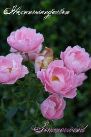 Rosen Hexenrosengarten Beetrose Kordes rosa Sommerwind