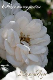 Rosen Hexenrosengarten Beetrose Kordes weiß Lions Rose