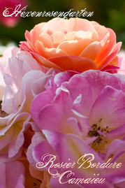 Rosen Hexenrosengarten Polyantha Delbard mehrfarbig rosa gelb weiß orange abricot Rosier Bordure Camaieu