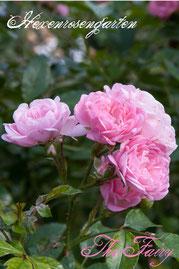 Rosen Hexenrosengarten Polyantha Bentall rosa The Fairy
