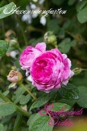 Rosen Hexenrosengarten Rambler Geschwind pink weiß mehrfarbig Geschwinds Orden