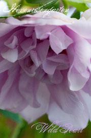 Rosen Hexenrosengarten Rugosa Ruf lila mauve Wild Pearl