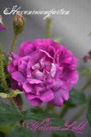 Rosen Hexenrosengarten Moosrose Laffay lila violett blau William Lobb