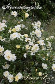 Rosen Hexenrosengarten Bodendeckerrose Kordes gelb Sunny Rose