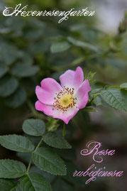 Rosen Hexenrosengarten Wildrose Strauchrose Europa Westasien Weinrose rosa Rosa rubiginosa