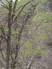 ▲朝日鉱泉手前2.5kmの林道付近は徐々に芽吹きが始まっている