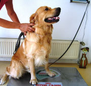 Golden Retriever auf Waage