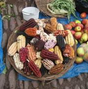 Mais in seiner ganzen Vielfalt