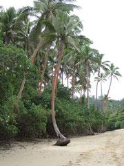 潮流で根がむき出しになった倒木寸前のヤシ
