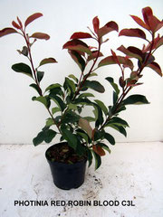 PHOTINIA, CARRE ROUGE, RED ROBIN ,