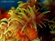 Tubastraea micranthus - Polyp