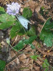 Mezza giornata passata a rincorrere questa farfalla.Alla fine c'è l'ho fatta,immortalata mentre si posa sul fiore.