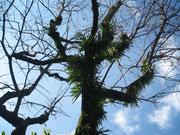 共生する苔、我が家の柿の木