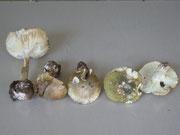 Knollenblätterpilze und Täublinge