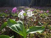 白花かたくり かたくり群生の郷