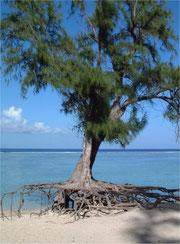 Filao - Casuarina equisetifolia