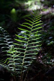 Les forêts de Chartreuse