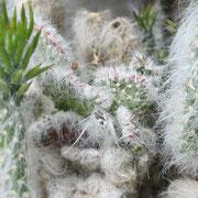 Opuntia subulata monstruosa